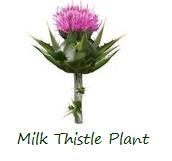 milk-thistle-plant