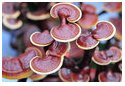 red mushroom, ganoderma, red reishi